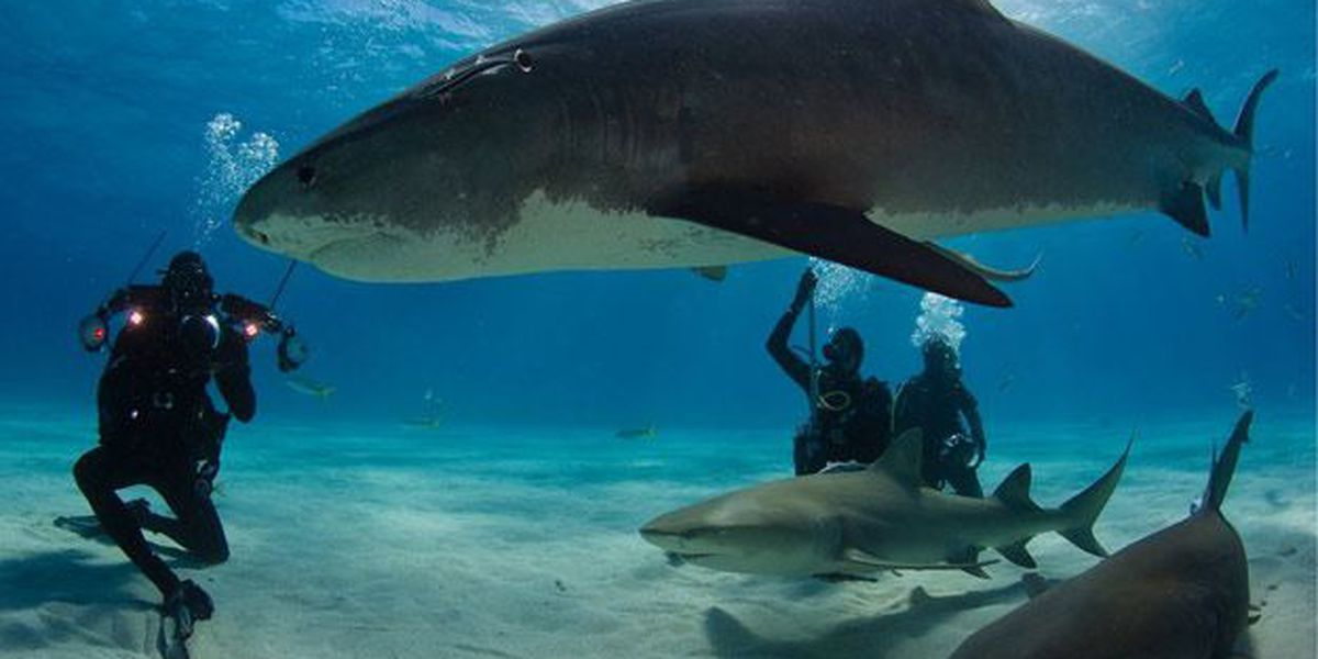 Scientists aim to study tiger sharks in Port Royal Sound