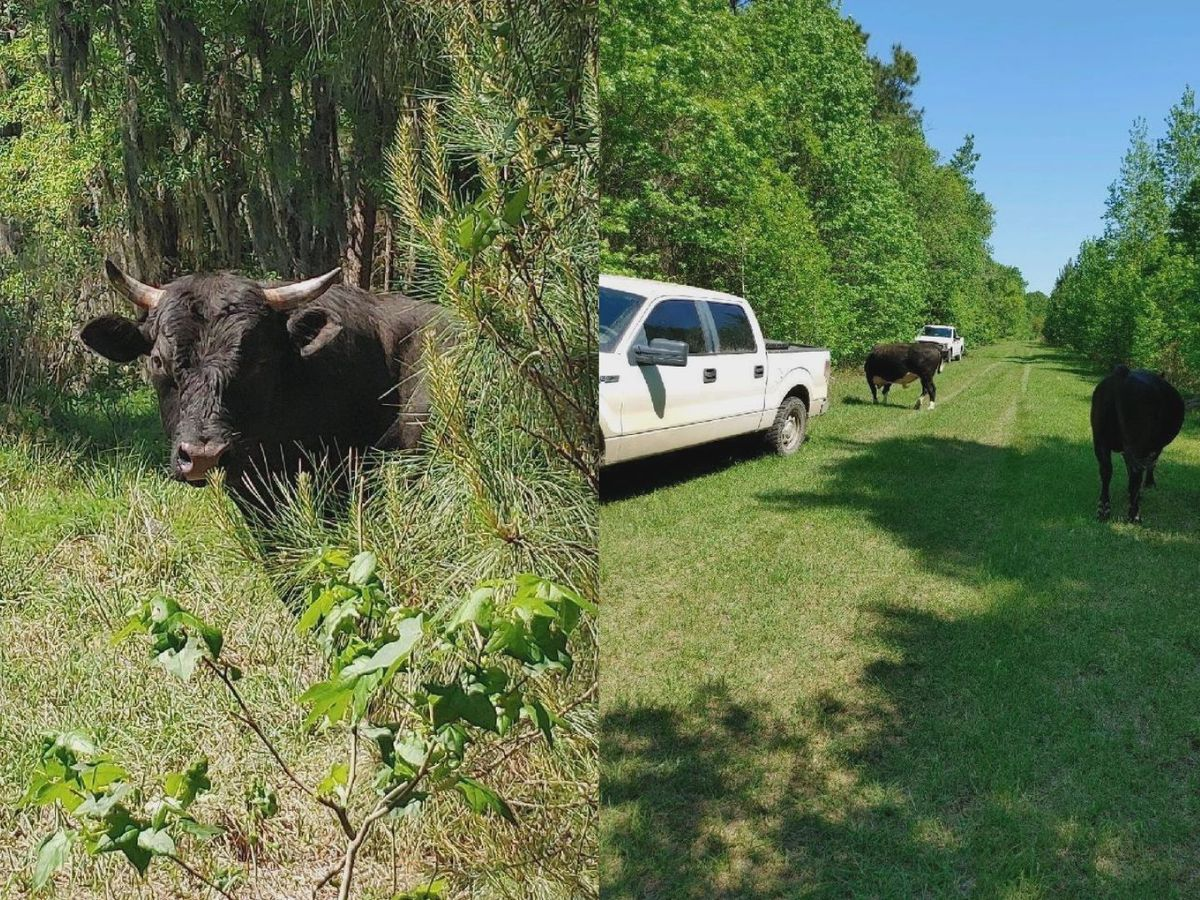Bullseye! Pooler Police find cows in shooting range