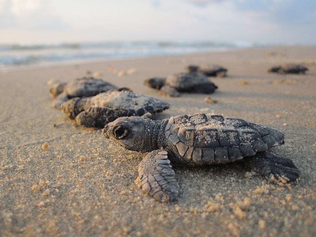 Georgia Southern researchers say sea turtle season breaking records