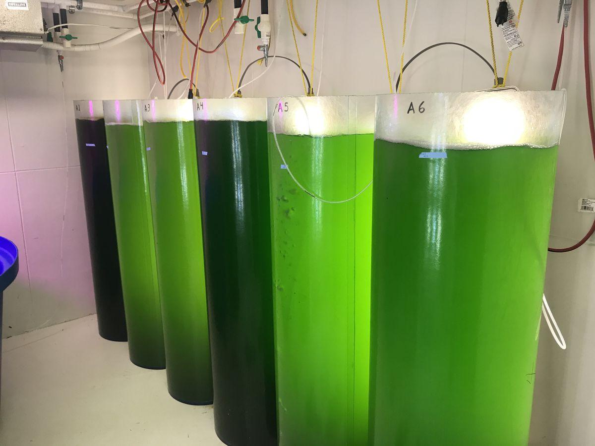 UGA Marine Extension and Georgia Sea Grant algae research benefits local oysters