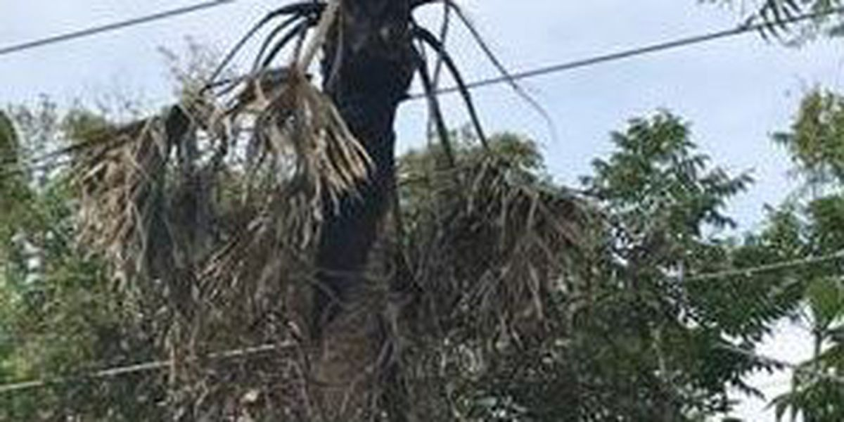 Almost 30 palm trees will be removed in Historic District of Bluffton for electrical safety