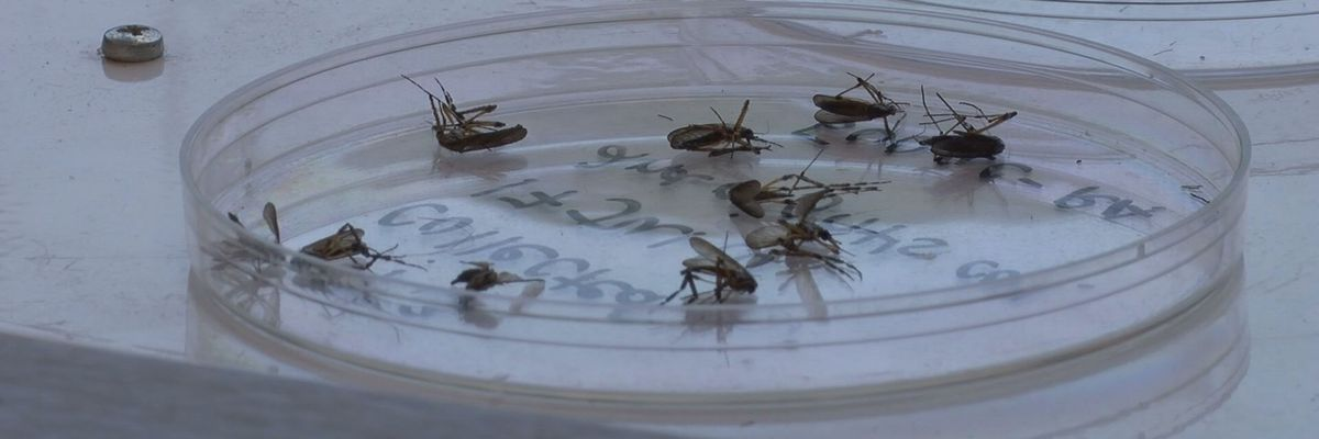 Cooler weather not driving mosquitoes away