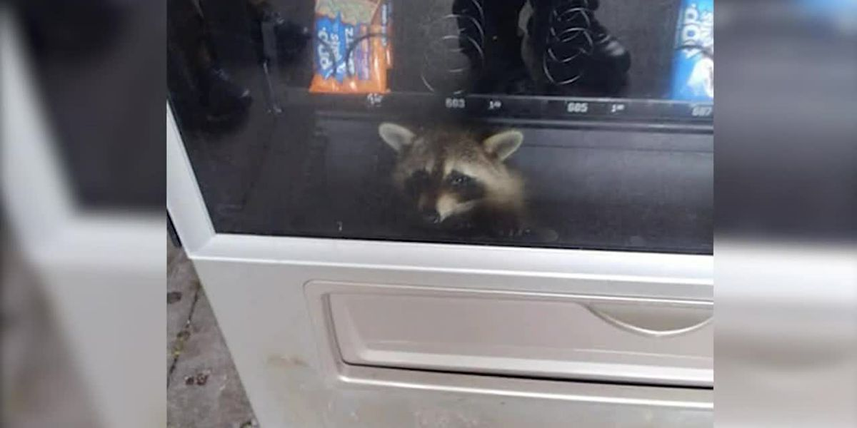 Caught in the act: Raccoon gets trapped while raiding Florida high school vending machine