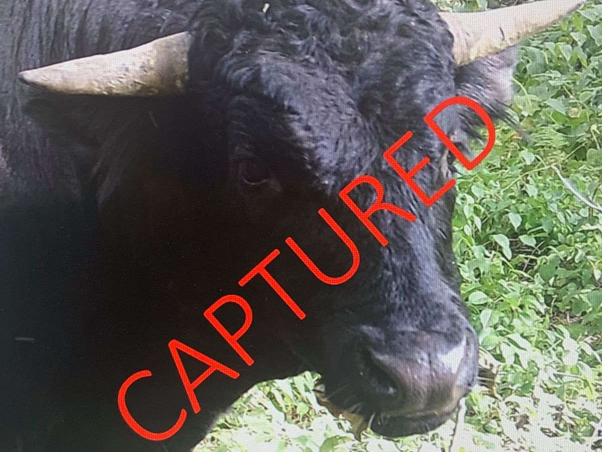 Buddy the beefalo caught after months on lam