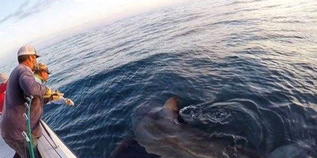 16-ft Great White tagged, released off HHI coast