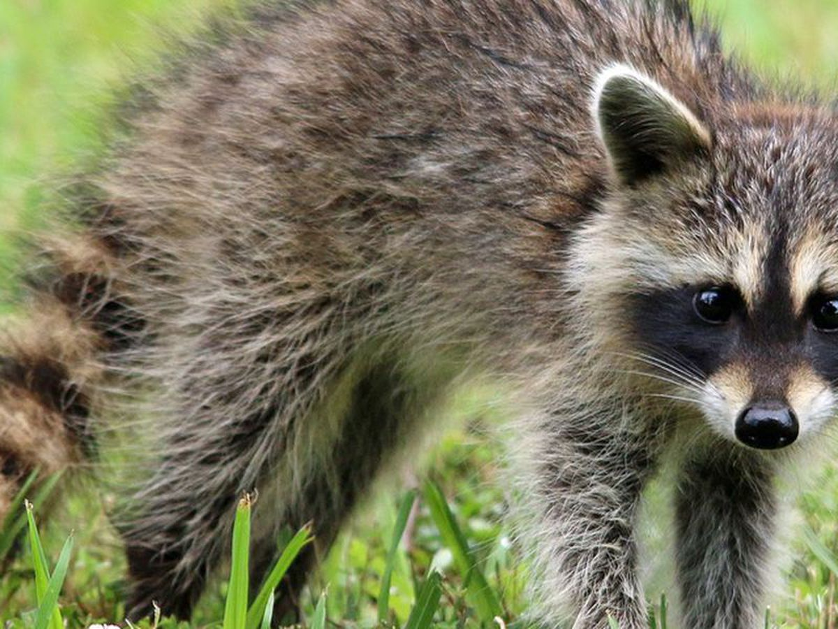 Health department warns of rabid raccoon on Wilmington Island