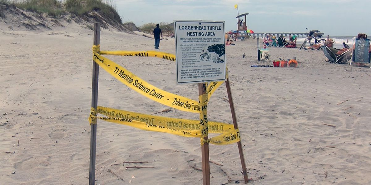 Wednesday marks first day of turtle nesting season on Tybee