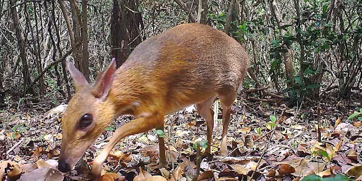 Watch: Animal thought to be extinct seen for first time in 30 years