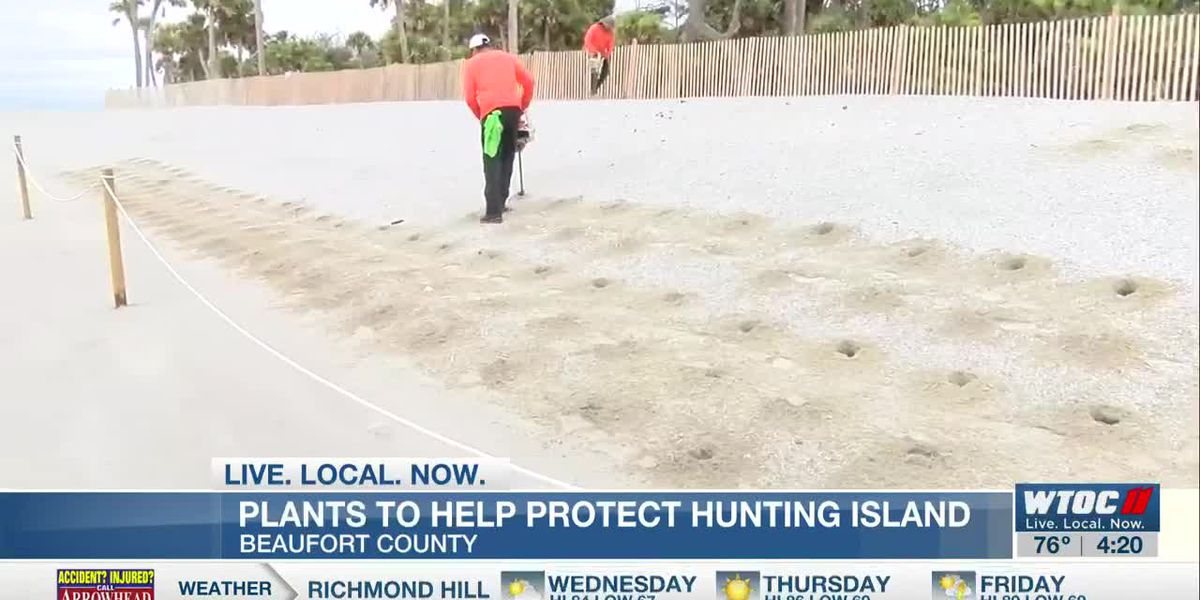 Plants added to Hunting Island to help fortify dunes