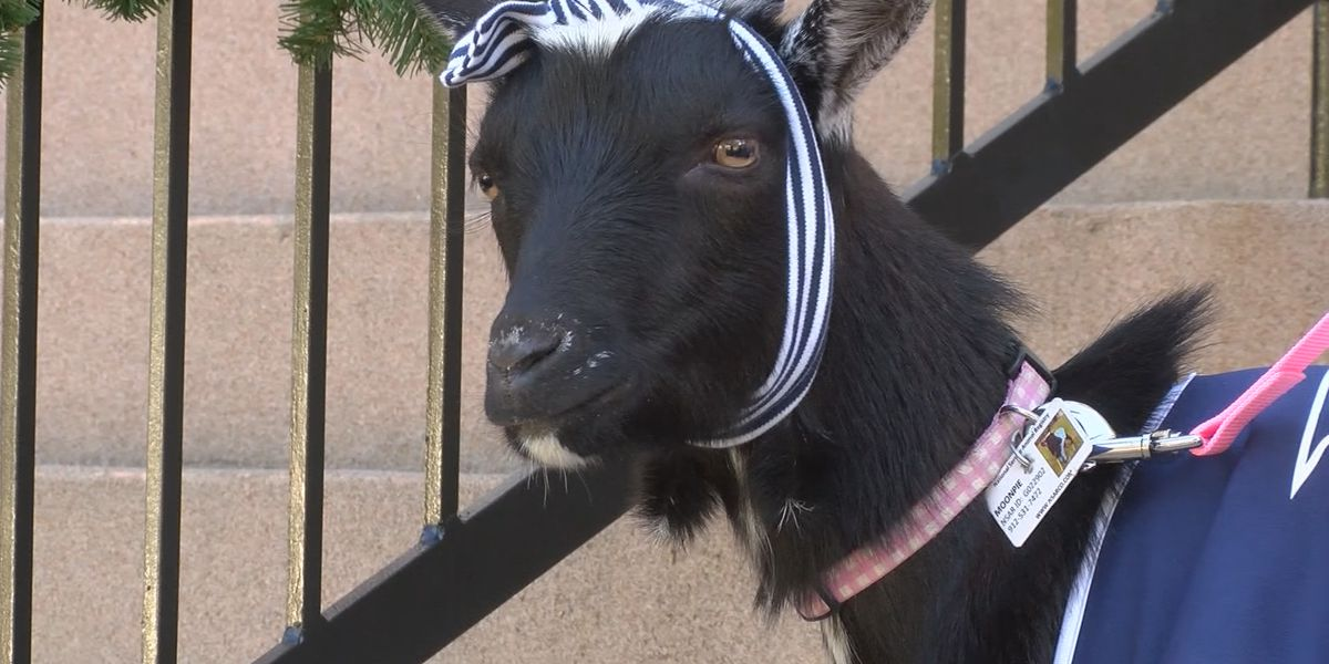 Therapy goat lends a helping hoof to Georgia Southern students