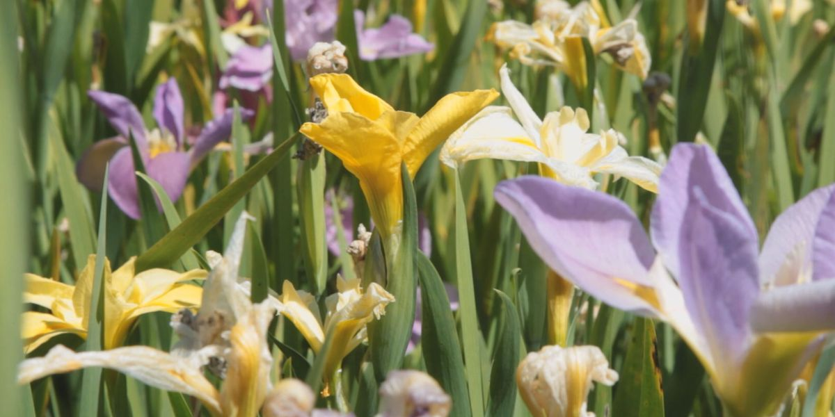 Iris Specialist's work paying off at Coastal Georgia Botanical Gardens
