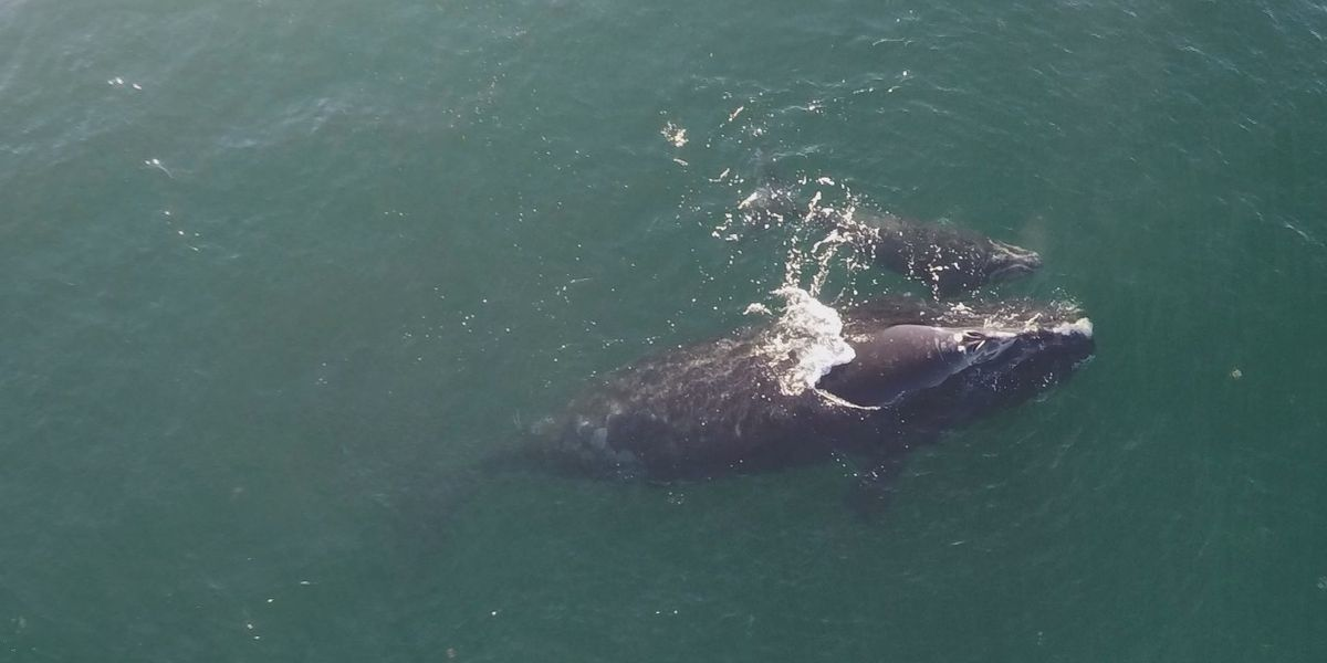 At least 4 right whale calves, mothers spotted along Ga./S.C. coast