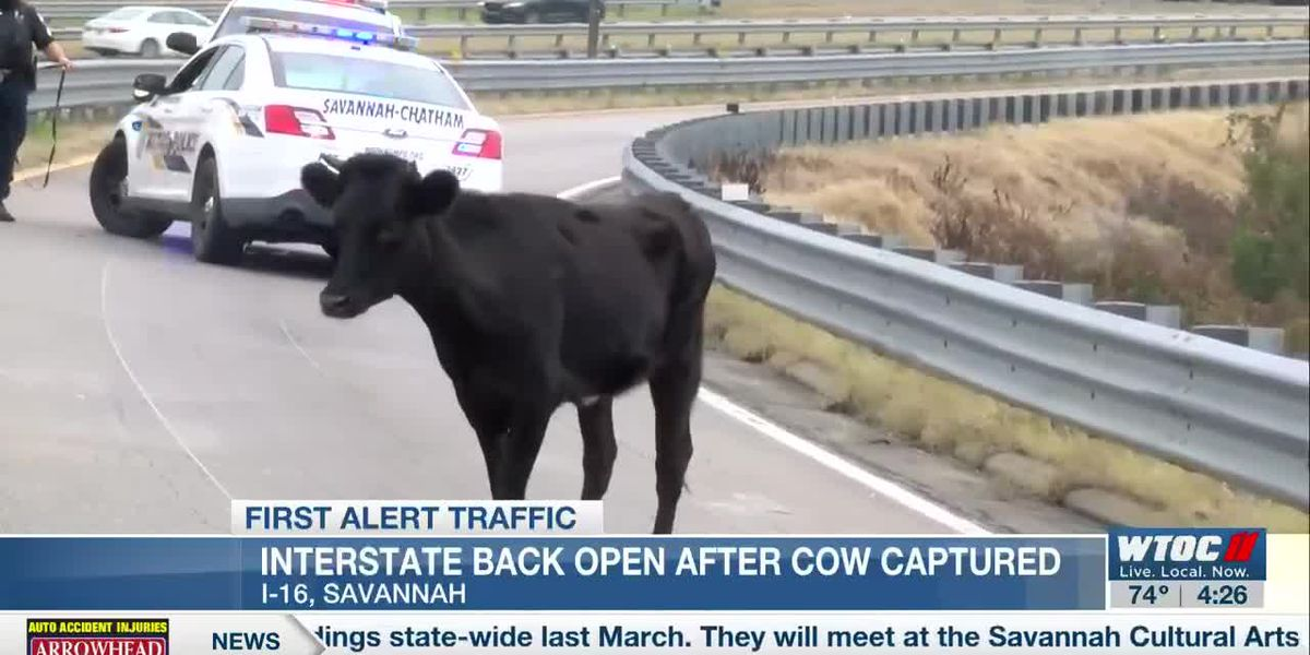 I-16 traffic stalled by cow on the roadway