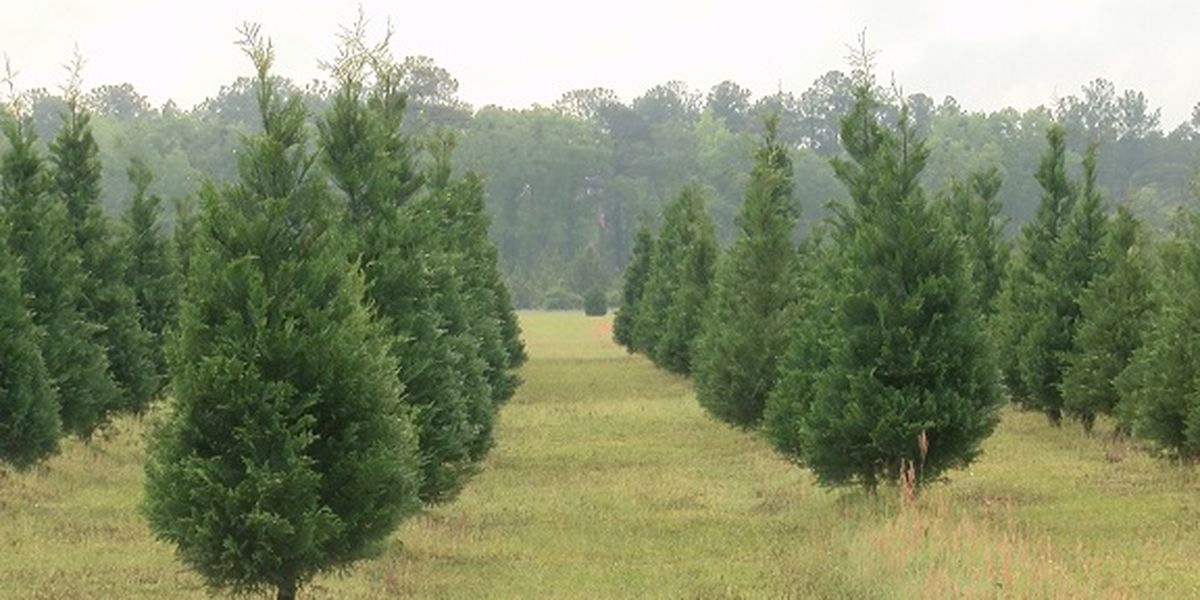 Proud to be a GA Farmer: Brewer Christmas tree farm, Midway