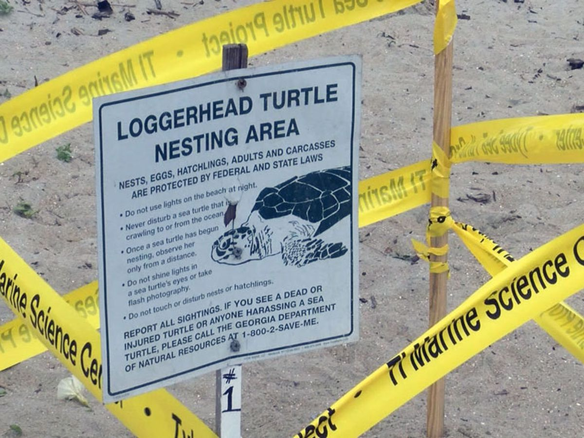 First turtle nest of the 2021 season found on Tybee Island