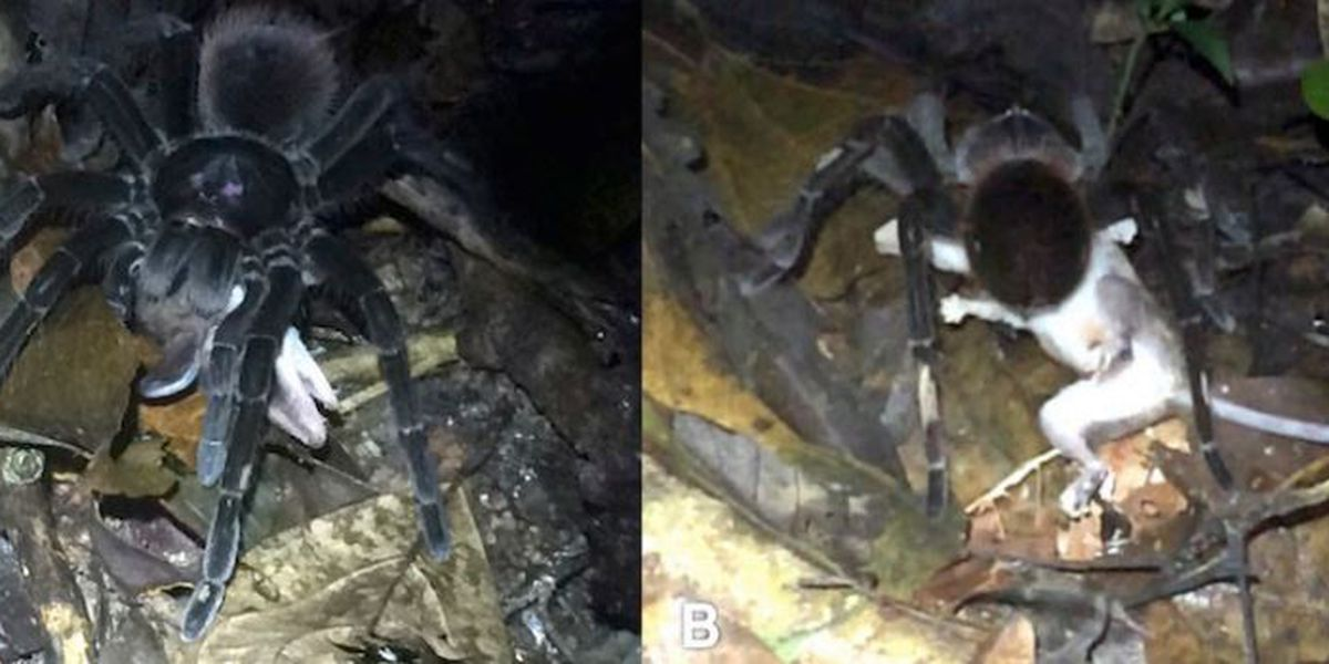 Nightmare fuel: Researchers record giant tarantula eating an opossum