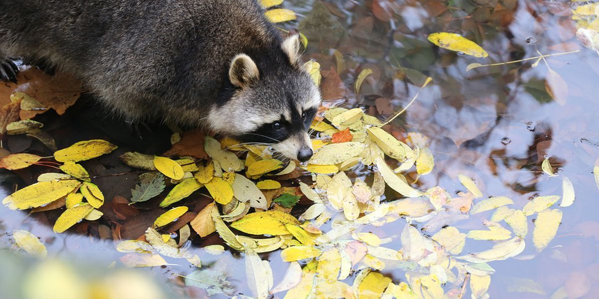 Raccoon tests positive for rabies on Skidaway Island