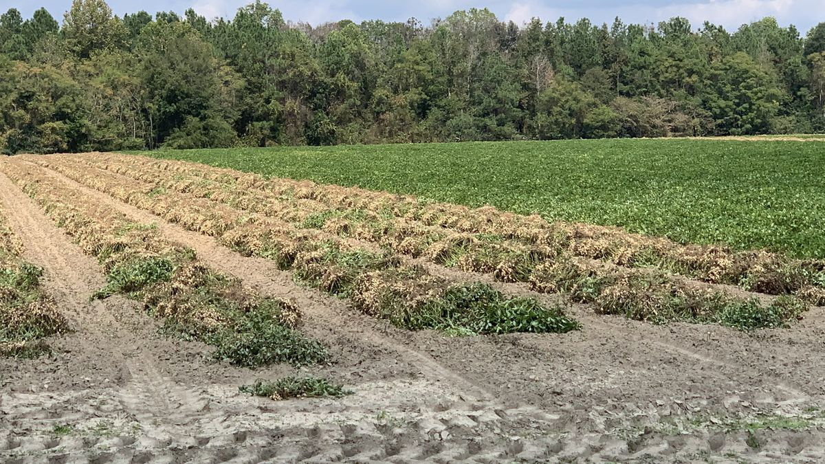 Virus impacting peanut crops in Georgia