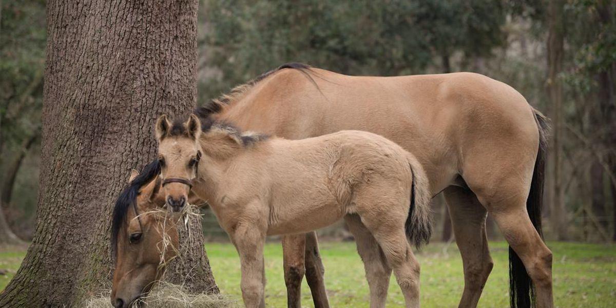 Rare horses born after Hurricane Matthew's chaos