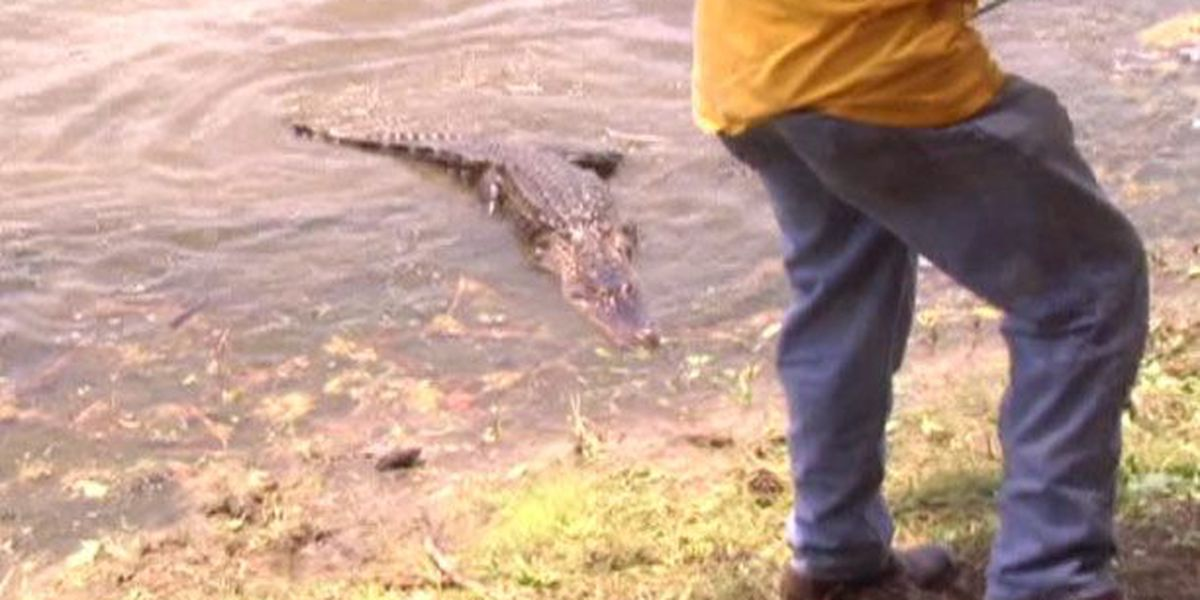 SC Dept. of Natural Resources responds to alligators in public spaces