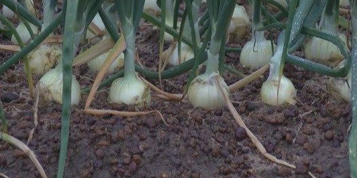 GA onion company forced to pay almost $1.5M in back wages
