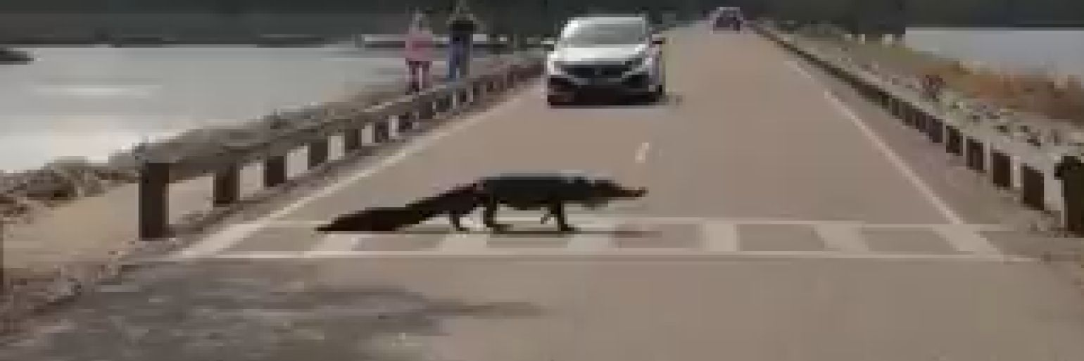 South Carolina alligator obeys pedestrian law