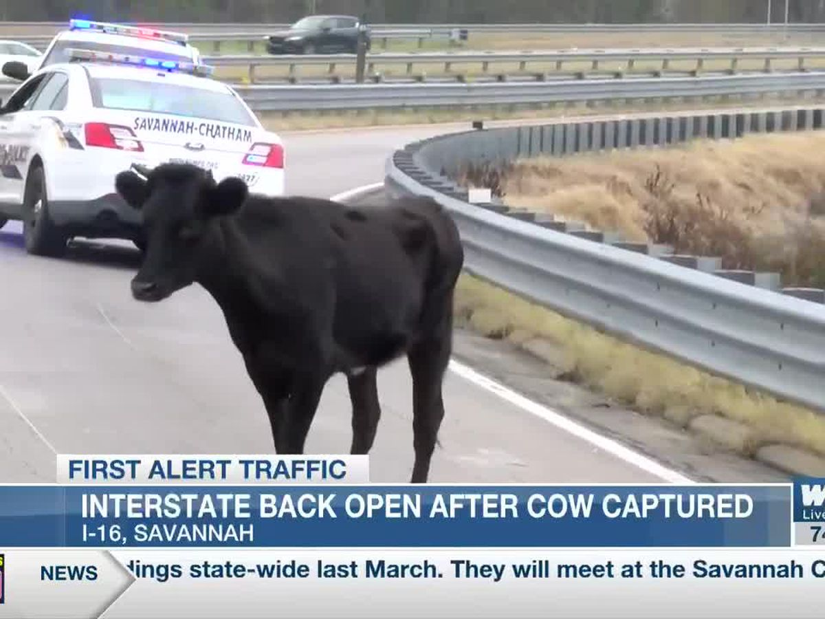 LEOna the cow headed to a farm sanctuary in New Jersey