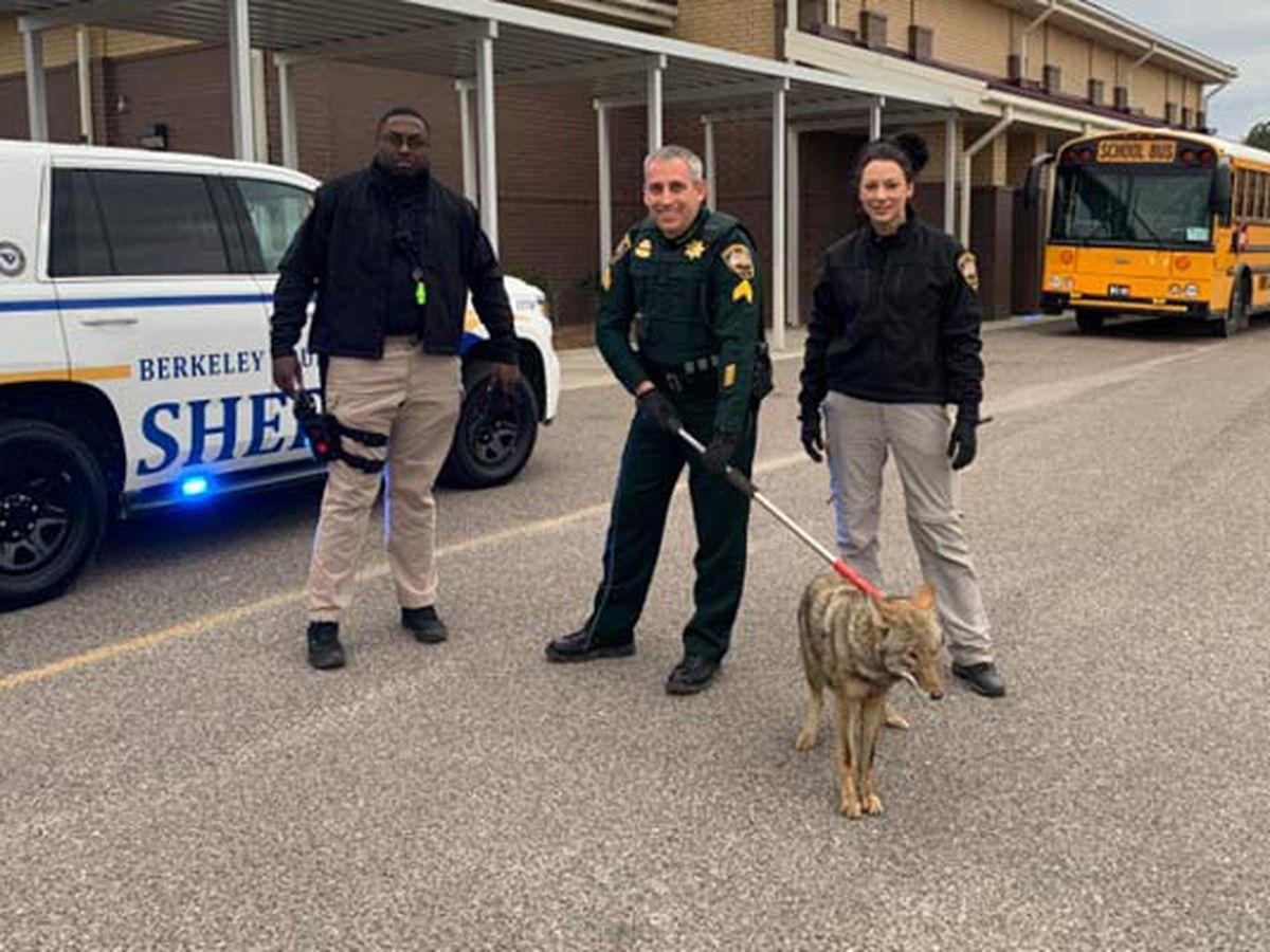 Deputies: Coyote pulled from SC elementary school restroom