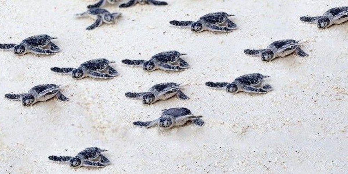Hilton Head Island volunteer organization offers advice for hatchling season