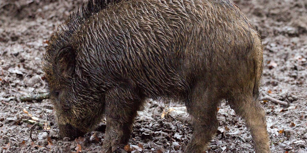 Investigators say wild boars to blame for attacks on horses in South Carolina