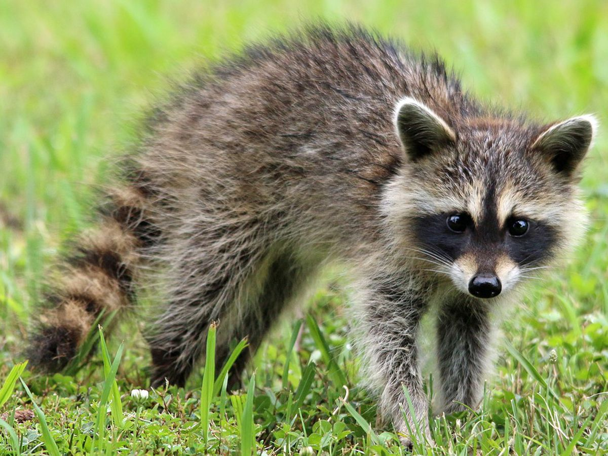 Raccoon tests positive for rabies on Wilmington Island