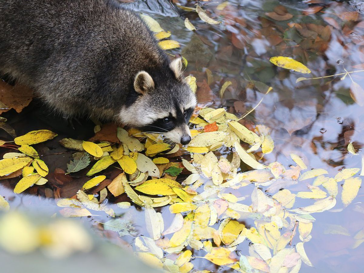 Raccoon tests positive for rabies on Isle of Hope