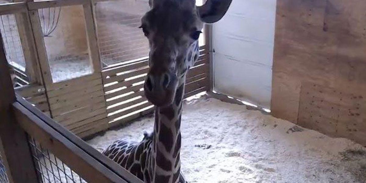 Giraffe watch enters weekend still with no baby