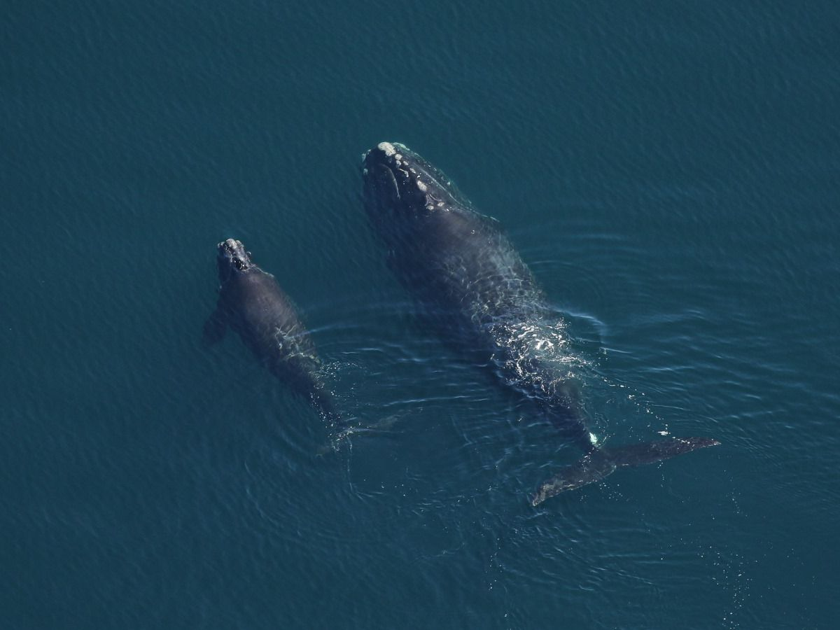 Successful right whale calving season but fight continues for critically endangered species