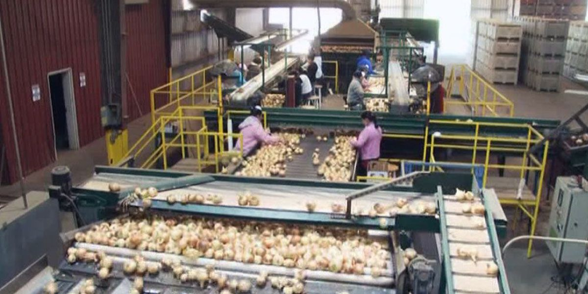 Vidalia Onions to arrive in stores in April