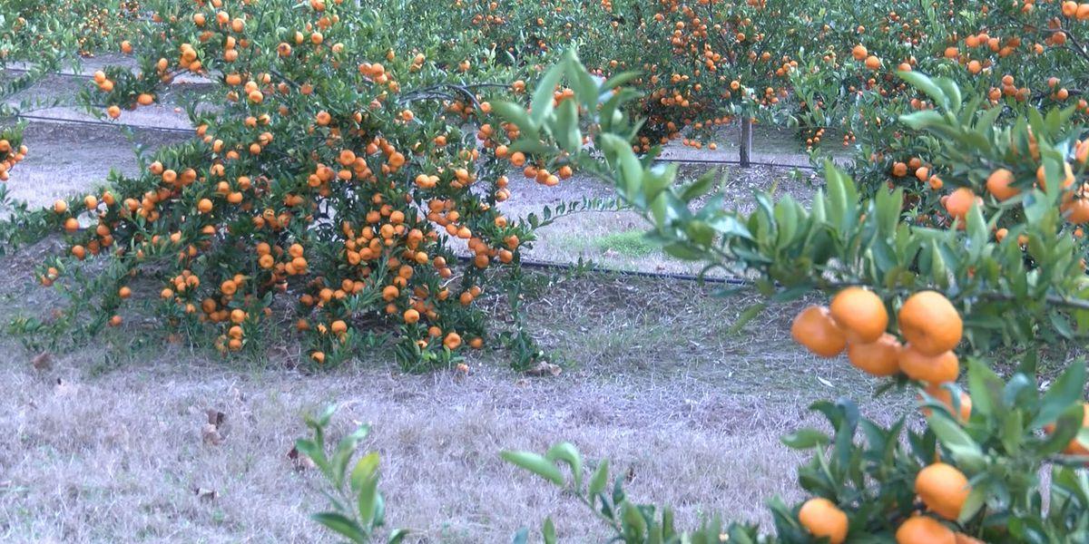Bulloch Co. farmer expanding orange growth in Ga.