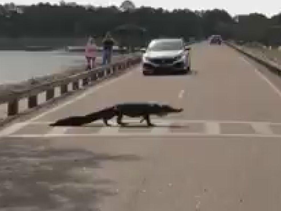 South Carolina alligator obeys pedestrian law