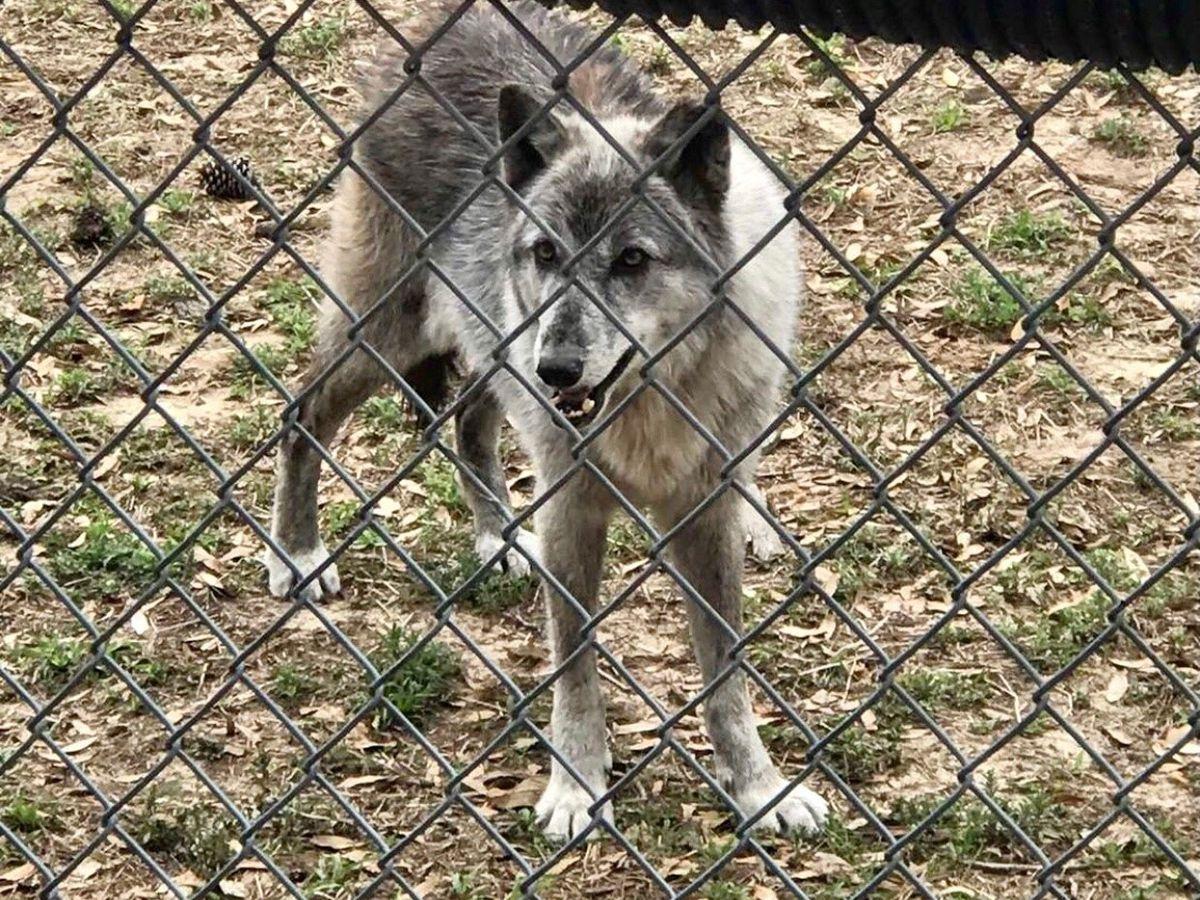 Female wolf passes away at Oatland Island Wildlife Center, according to FOO