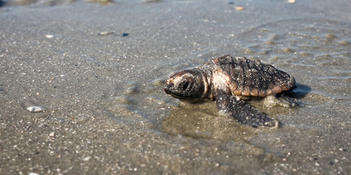SCDNR encourages sea turtle nesting season despite challenges
