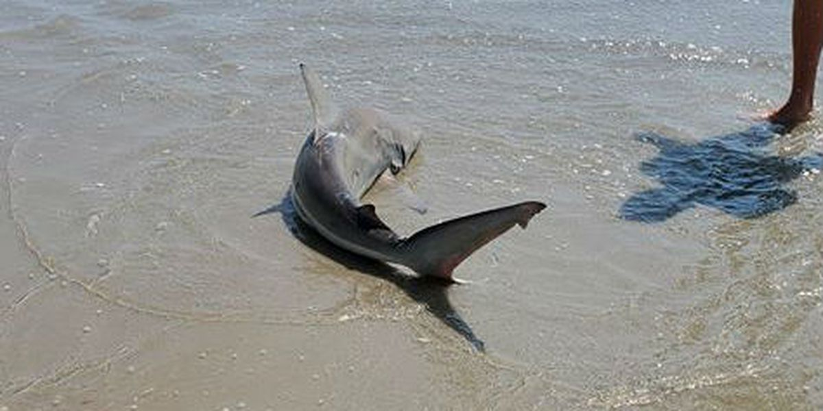 VIDEO: Shark caught in ankle-deep water; pulled back into ocean