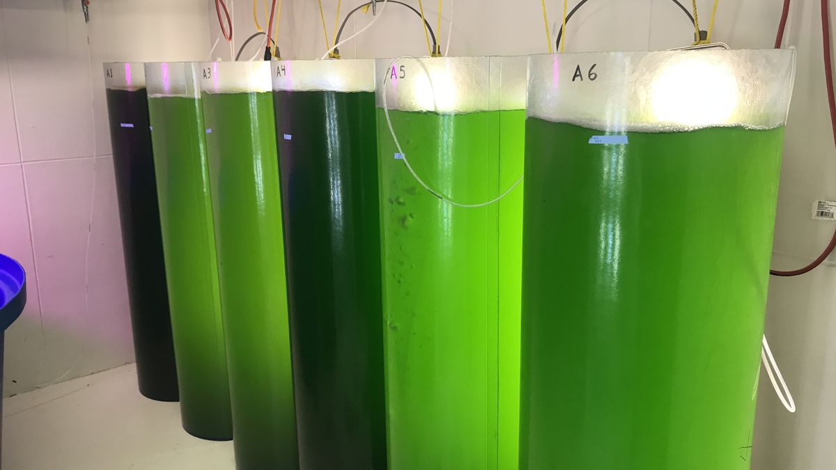 UGA Marine Extension's algae research benefits local oysters
