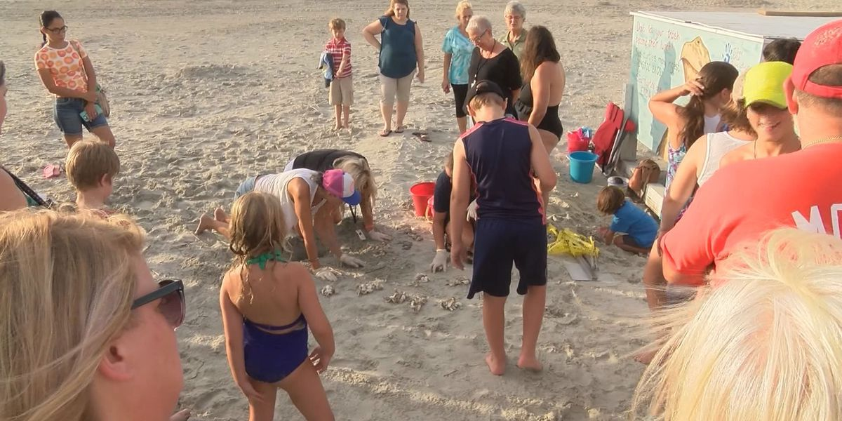 Volunteers count record number of sea turtle nests on Tybee Island
