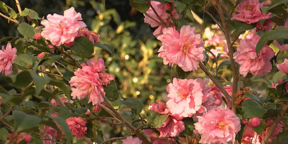 2019 Savannah Camellia Festival going on throughout the weekend