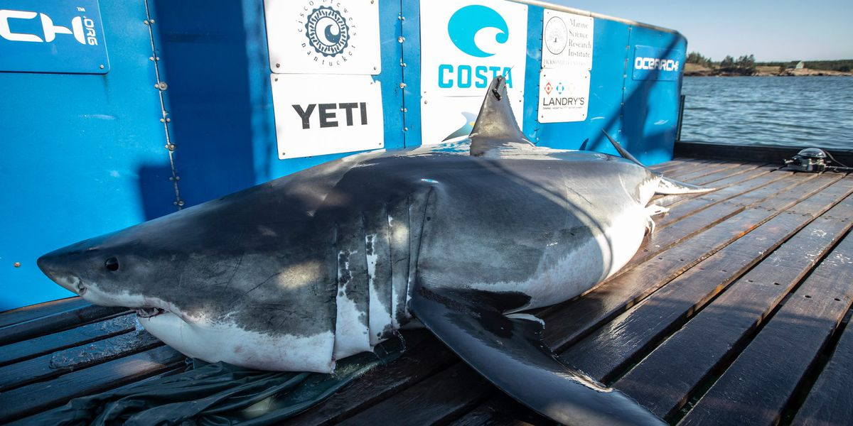 Two Great White sharks ping off the Beaufort County coast