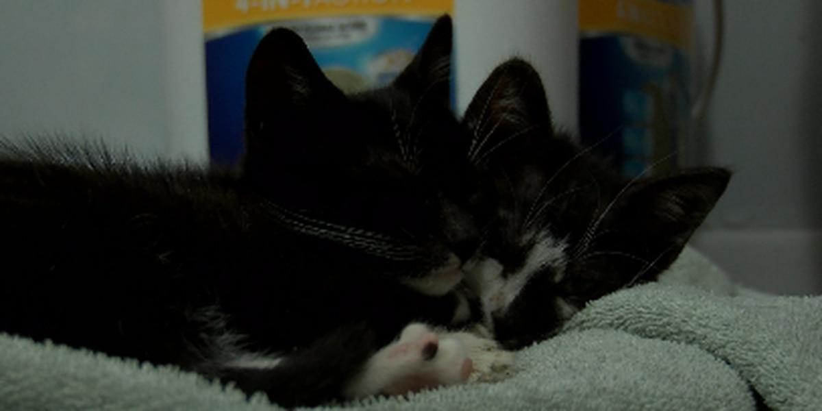 Rescue looking for volunteer cat cuddlers