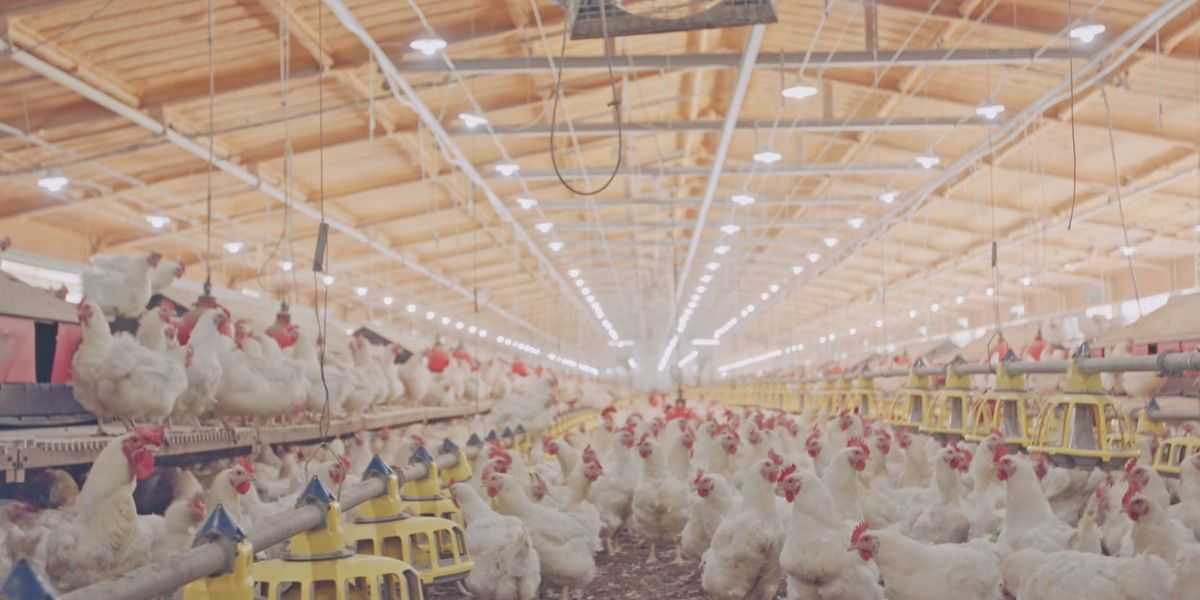 American poultry products will soon return to Chinese kitchens