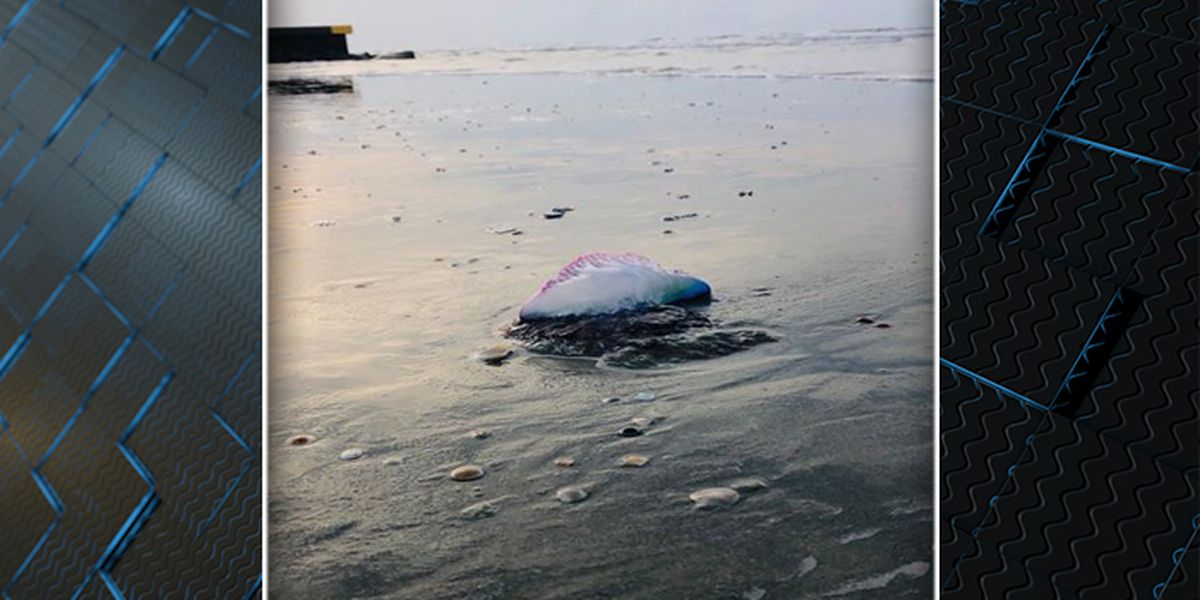IOP Police chief warns of Portuguese man o' war sighting on beach