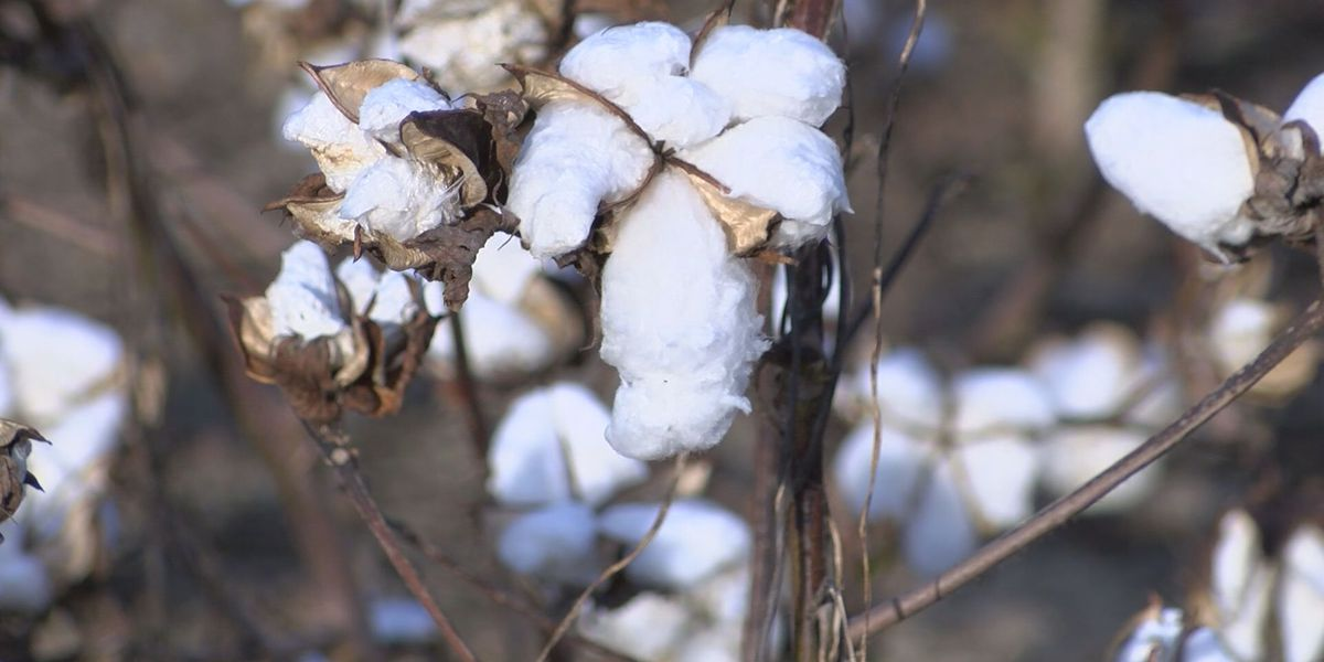 Cotton farmers need a solid week of dry weather