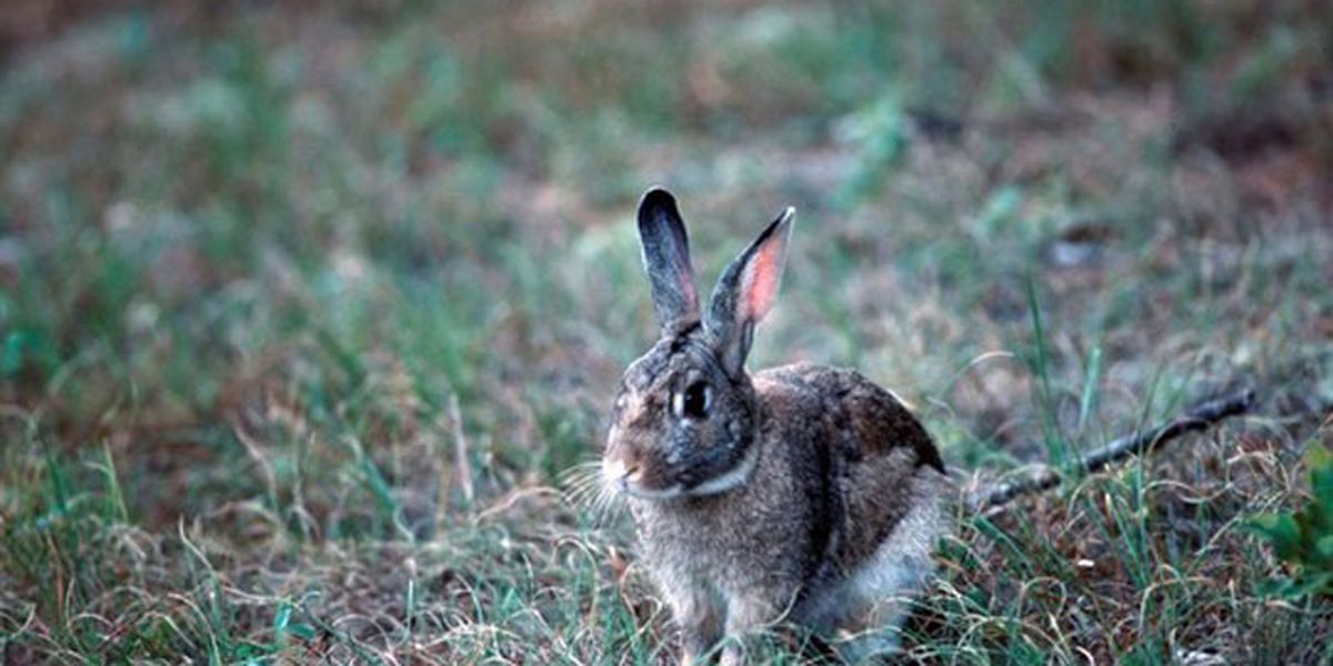 SCDNR: Rabbit disease concerns South Carolina wildlife officials