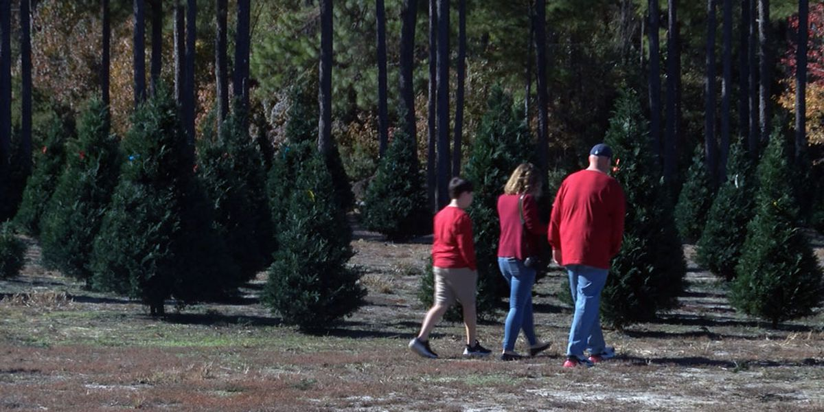 Guyton tree farm opens for business ahead of Christmas